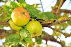 Verse appelen Royalty-vrije Stock Afbeeldingen