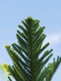 Verse araucariaceae groene bladeren op boom Stock Afbeelding
