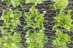 Verse biobladsalade Stock Foto