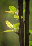 Verse bladeren in de lente Stock Afbeelding