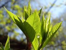Verse bladeren in de lente Royalty-vrije Stock Afbeeldingen