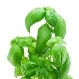 Verse bladeren van basilicum Royalty-vrije Stock Foto