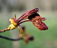 Verse bladeren van Canadese esdoorn in het park Royalty-vrije Stock Fotografie