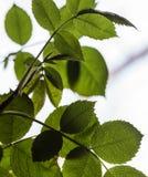 Verse bladeren van een boom tegen een witte hemel Royalty-vrije Stock Foto