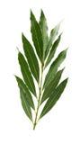 Verse bladeren van laurier stock afbeeldingen