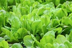 Verse bladeren van spinazie Royalty-vrije Stock Foto