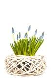 Verse blauwe druiven royalty-vrije stock afbeelding