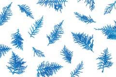 verse blauwe pijnboombladeren, Oosterse die Arborvitae, Thuja-orientalis ook als Platycladus-de textuurachtergrond van het orient Stock Foto's