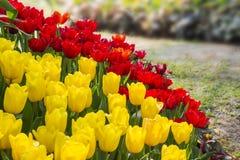 Verse bloeiende tulpen in de de lentetuin Stock Afbeeldingen