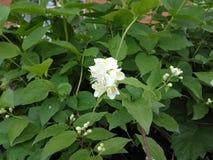 verse bloemen van jasmijn het groeien in de zomertuin Royalty-vrije Stock Afbeeldingen