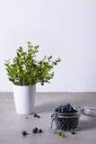 Verse bluberries met rietsuiker over grijze achtergrond De zoete ingrediënten van het bessendessert, exemplaarruimte, van hierbov Stock Afbeelding