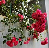 Verse bos van wilde rozen stock foto's