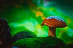 Verse bruine GLB-boleetpaddestoel op mos in de regen Royalty-vrije Stock Foto's