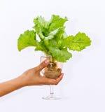 Verse butterhead in wijnglas Royalty-vrije Stock Fotografie