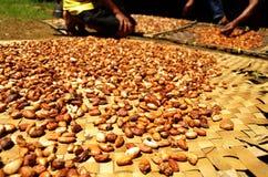 Verse cacaobonen die in de zon drogen Stock Foto's