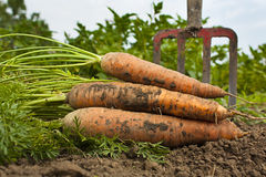 Verse Carrotts Stock Afbeelding