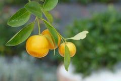 Verse citroen op de groene tak in de tuin stock foto