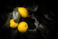 Verse citroenen op donkere achtergrond stock fotografie