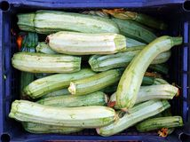 Verse courgettes Royalty-vrije Stock Foto's