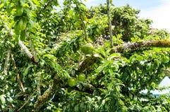 Verse Crescentia cujete op Kalebasboomboom Stock Foto's
