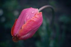 verse dalingen op de roze tulp Royalty-vrije Stock Afbeelding