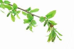 Verse de lentebladeren op een tak royalty-vrije stock afbeeldingen