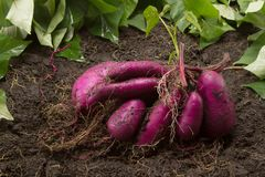 Verse die bataatopbrengst op vuil van biologisch organisch landbouwbedrijf wordt geoogst stock afbeeldingen