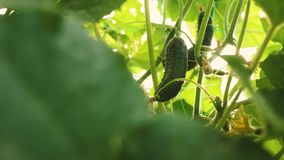Verse die komkommers op open gebied worden gekweekt Aanplanting van Komkommers De komkommer groeit op een bloeiende struik Groeie stock video