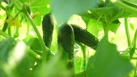 Verse die komkommers in open grond worden gekweekt Aanplanting van Komkommers Het kweken van komkommers in serres De groene komko stock videobeelden