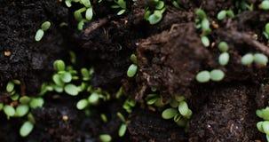 Verse die zaailingen door aarde zijn ontsproten stock video
