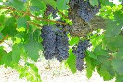 Verse donkere zwarte rijpe druif op groen blad onder zonlicht bij het meest havest seizoen, die in organische wijngaard planten royalty-vrije stock fotografie