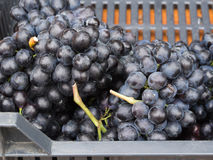 Verse donkerrode druiven Stock Foto