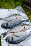 Verse Dorado-vissen in folie Stock Fotografie