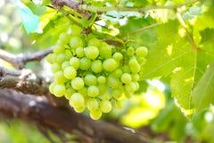 Verse druif. Stock Afbeelding