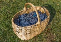 Verse druif stock afbeelding