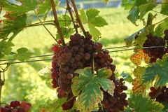 Verse Druiven in werf Royalty-vrije Stock Afbeelding
