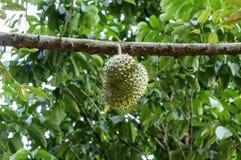 Verse durian in de boomgaard Royalty-vrije Stock Foto's
