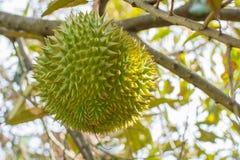 Verse durian hangt  stock afbeeldingen