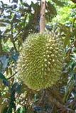 Verse durian op boom Royalty-vrije Stock Foto's