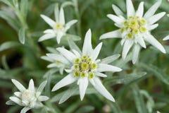 Verse Edelweissbloemen Stock Foto