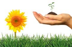 Verse Elementen van de Lente: Gras, Seeling en Sunfl Stock Afbeelding