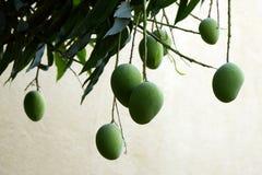 Verse en gezonde groene Mangovruchten op een mangoboom stock fotografie