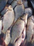 Verse fish2 Royalty-vrije Stock Foto's