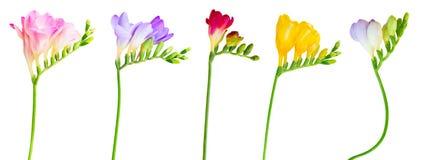 Verse fresiabloemen royalty-vrije stock foto