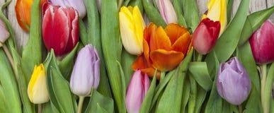 Verse gekleurde tulpen voor een houten achtergrond Stock Fotografie