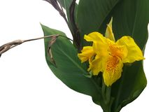 Verse gele die canna lilly bloem op witte achtergrond wordt geïsoleerd royalty-vrije stock foto