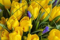 Verse gele tulpen Stock Afbeelding