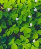 Verse gelukkige groene klaver driebladige en witte bloemen bij voor Stock Foto's
