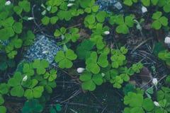 Verse gelukkige groene klaver driebladige en witte bloemen bij voor Royalty-vrije Stock Foto