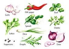 Verse geplaatste saladekruiden en kruiden Waterverfhand getrokken die illustratie op witte achtergrond wordt geïsoleerd Royalty-vrije Stock Afbeeldingen